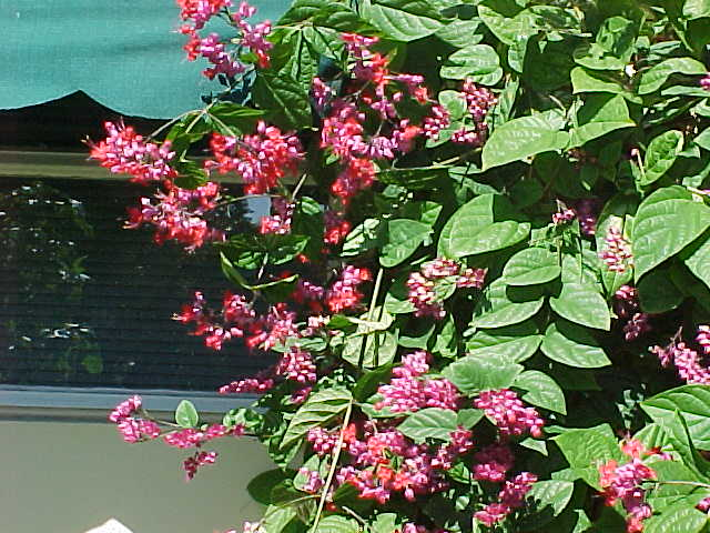 clerodendrum05